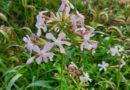 Botanica e Fitoalimurgia – Saponaria Officinalis